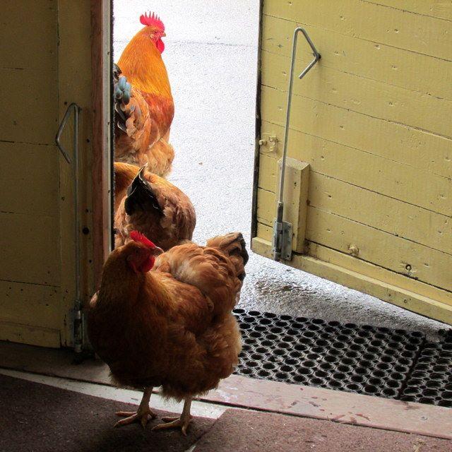 images/kippen_bij_boerderijdeur.jpg