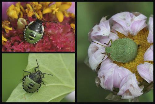 Drie jonge groene stinkwantsen