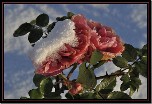 Roos met sneeuw