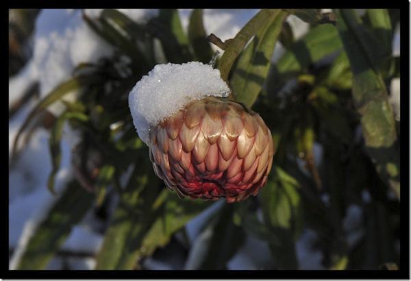 Strobloem met sneeuw