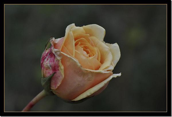 Roos in de herfst