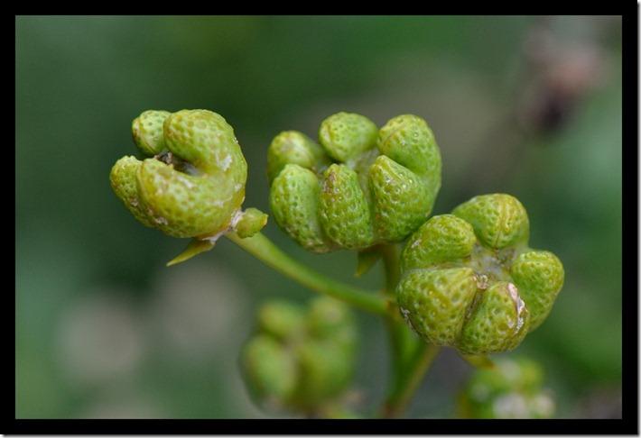Zaaddozen wijnruit