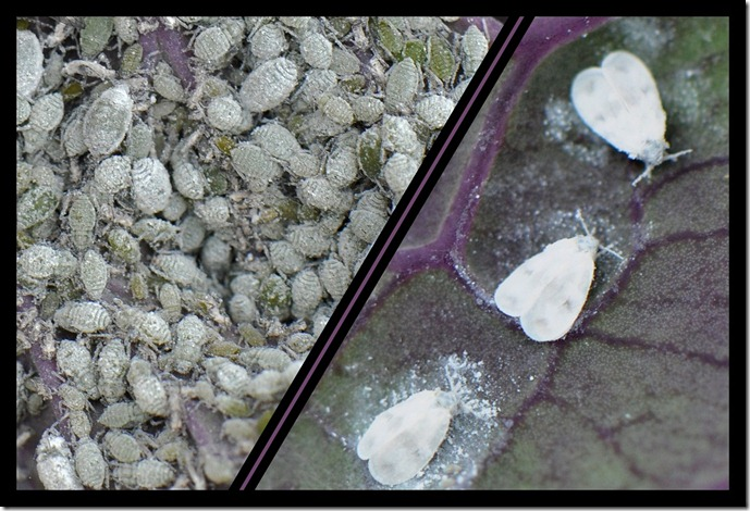 bladluis en witte vlieg