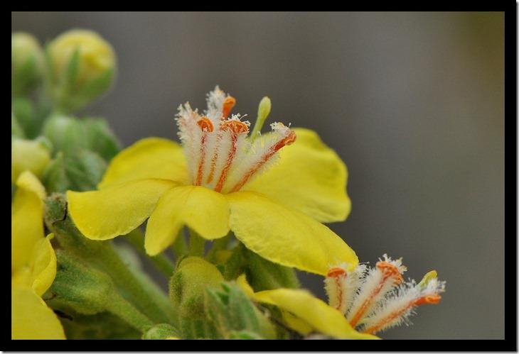 Toorts - Verbascum thapsus