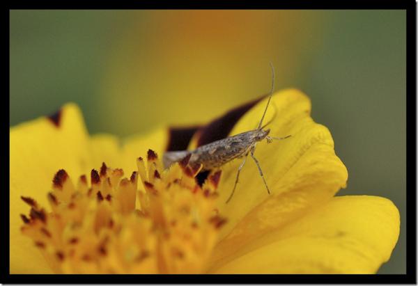 spitskopmot- Ypsolopha ustella
